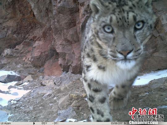 资料图为红外相机在青海玉树三江源地区记录到的雪豹影像。 山水自然保护中心提供 摄